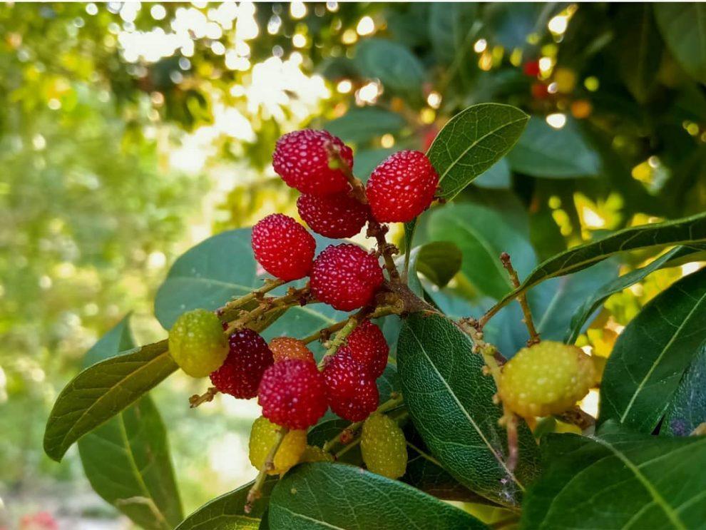 kafal fruit