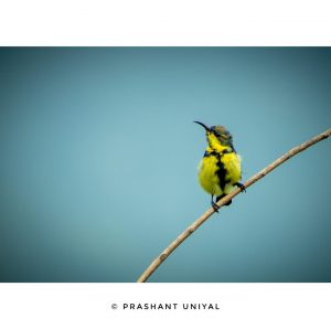 The olive backed sunbird (Cinnyris jugularis)