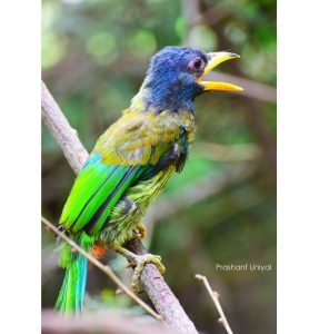 The great barbet