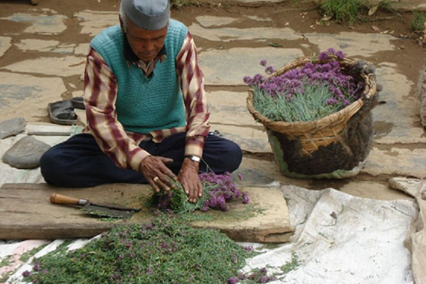 uttarakhand medical plant cultivation